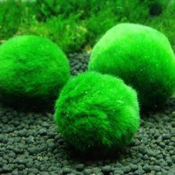 Lot de 3 Boules de Cladophora